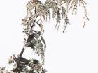 Atlasgrünspecht / Levaillant's Woodpecker