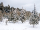 Zedernwald / Cedar forest