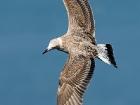 Flugfähiger Jungvogel.