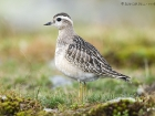 Mornellregenpfeifer / Eurasian Dotterel