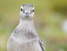 Mornellregenpfeifer / Eurasian Dotterel