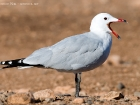 Korallenmwe / Audouin's Gull