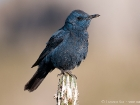 Blaumerle / Blue Rock Thrush