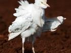 Kuhreiher / Cattle Egret