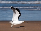 Dominikanermwe / Kelp Gull