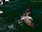 Heringsmöwe / Lesser Black-backed Gull