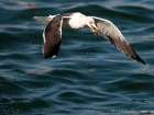 Heringsmwe / Lesser Black-backed Gull