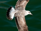 Silbermwe / Herring Gull?