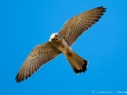 Rtelfalke / Lesser Kestrel