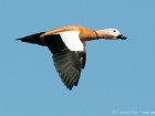 Rostgans / Ruddy Shelduck