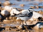 Bachstelze / White Wagtail
