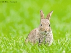 Wildkaninchen / European Rabbit