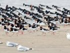Austernfischer / Eurasian Oystercatcher