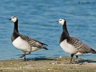 Nonnengnse / Barnacle Geese
