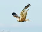 Rohrweihe / Marsh Harrier