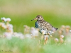 Rotschenkel / Common Redshank