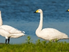 Singschwne / Whooper Swans