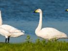 Singschwäne / Whooper Swans
