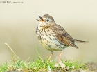 Wiesenpieper / Meadow Pipit