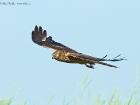 Wiesenweihe / Montagu\'s Harrier