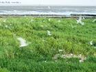 Brandseeschwalben-Kolonie / Sandwich Tern colony