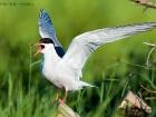 Flussseeschwalbe / Common Tern