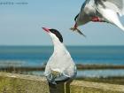 Küstenseeschwalben / Arctic Terns