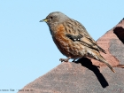 Alpenbraunelle / Alpine Accentor