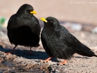 Alpendohle / Yellow-billed Chough