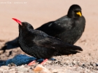 Alpenkrhe und -dohle / Red-billed and Yellow-billed Chough
