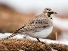 Ohrenlerche / Shorelark