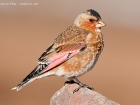 Rostflgelgimpel / Crimson-winged Finch