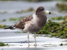 Schwanzbandmöwe / Band-tailed Gull