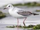 Graukopfmöwe / Grey-headed Gull
