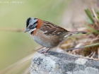 Morgenammer / Rufous-collared Sparrow