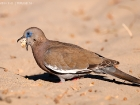 Perutaube / West Peruvian Dove