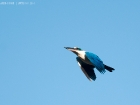 Halsbandliest / White-collared Kingfisher