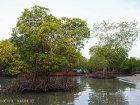 Mangroves on Sebesi