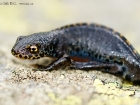 Bergmolch / Alpine Newt