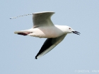 Dnnschnabelmwe / Slender-billed Gull
