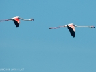 Rosa Flamingo / Greater Flamingo