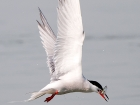 Flussseeschwalbe / Common Tern