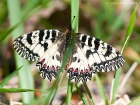 Osterluzeifalter / Southern Festoon