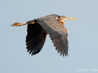 Purpurreiher / Purple Heron