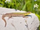 Ruineneidechse / Italian wall lizard