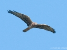 Wiesenweihe / Montagu's Harrier