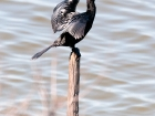 Zwergscharbe / Pygmy Cormorant