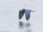 Küstenreiher / Western Reef Heron