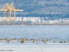 Brachvögel und Austernfischer an der Adriaküste / Curlews and Oystercatchers at the Adriatic coast