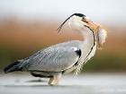 Graureiher / Grey Heron